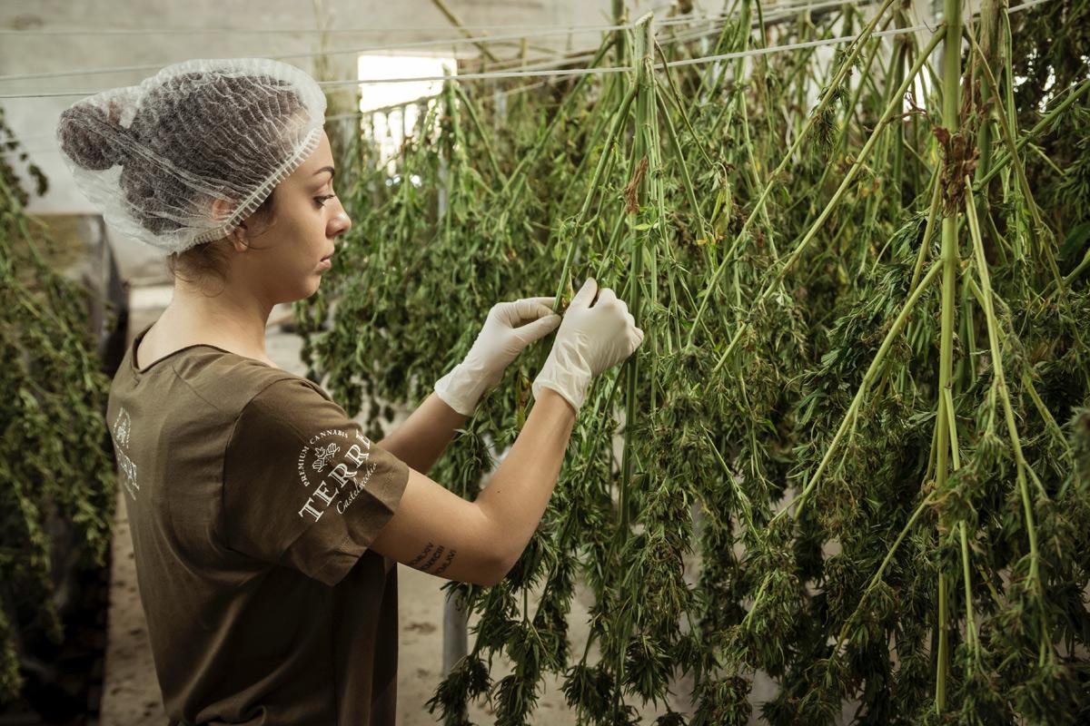 terre-di-cannabis-FIOiHwB71.jpg