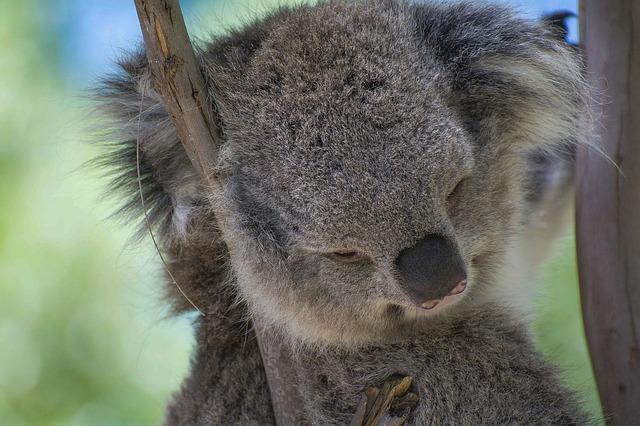 koala-4071724_640